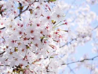 自然,花,春,桜,屋外,ピンク,花見,サクラ,お花見,さくら