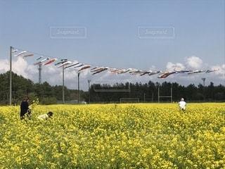 空,晴れ,黄色,菜の花,鮮やか,こいのぼり,5月,yellow,GW