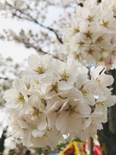 花,桜,花見,アップ,flower