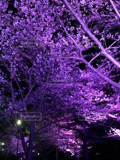 桜,花見,夜桜,ライトアップ,flower