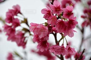 春,桜,ピンク,沖縄,花見,寒緋桜