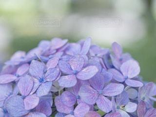 ふわふわな紫陽花の写真・画像素材[3388696]