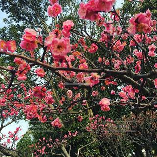 春,桜,梅,晴天,訪れ