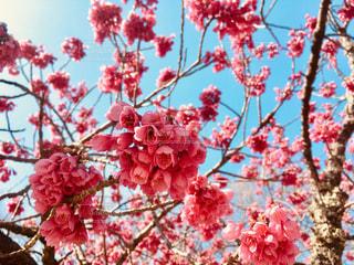 春,桜,ピンク,花見,鮮やか,カンヒザクラ