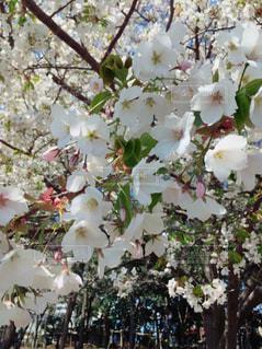 自然,花,春,桜,癒し,幸せ,ぬくもり,草木,ブロッサム