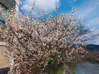 自然,花,春,屋外,草木,桜の花