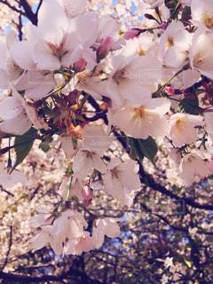 自然,花,春,屋外,桜の花