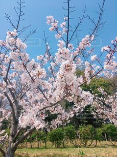 自然,春,屋外,草木,桜の花,ブロッサム