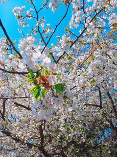 自然,花,春,桜,癒し,眺め