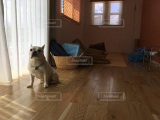 新居に緊張しているフレンチブルドッグの写真・画像素材[1858031]