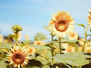 夏,ひまわり,向日葵,ビタミンカラー,夏休み,ひまわり畑,黄色のセカイ