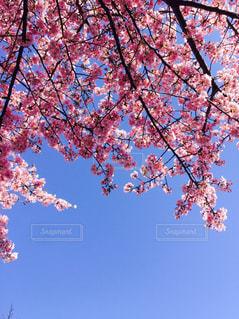 空,春,桜,ピンク,青空,花見,ピンク色