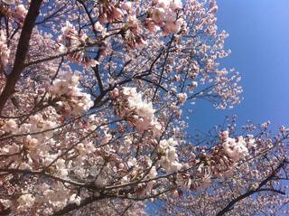 空,春,桜,ピンク,青空,花見,満開,ピンク色