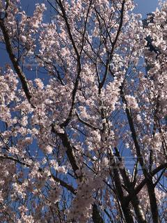 春,桜,屋外,サクラ,樹木,咲き始め,さくら