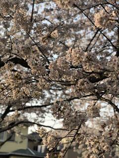 自然,桜,花見