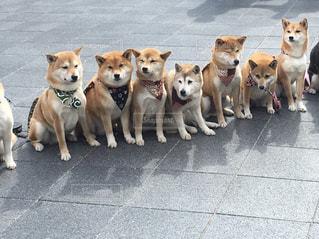 かわいい,茶色,柴犬,ベージュ,ミルクティー色