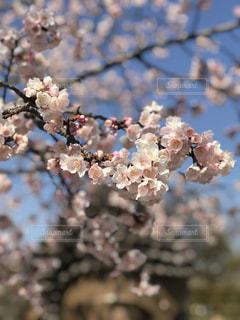 自然,花,春,桜,屋外,花見,桜の花,ブロッサム