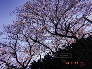 風景,空,ピンク,櫻,樹木,櫻並木