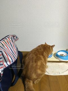 動物,食事,屋内,後ろ姿,ねこ,ネコ,水飲む