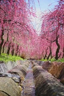 花,春,桜,木,屋外,樹木,お花見,草木