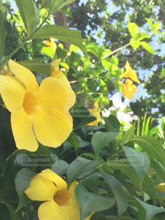 黄色の花の写真・画像素材[1864827]