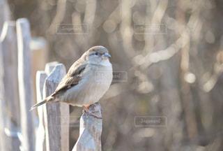 公園,鳥,屋外,茶色,朝,野鳥,ベージュ,ブラウン,小鳥,ミルクティー色