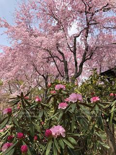 桜とシャクナゲの写真・画像素材[1875922]