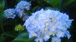 アジサイの花の写真・画像素材[1924931]