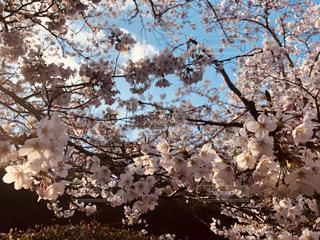 青空に映える桜の写真・画像素材[1992328]
