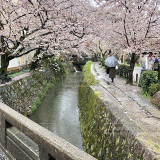 雨の日の桜の道の写真・画像素材[2007146]