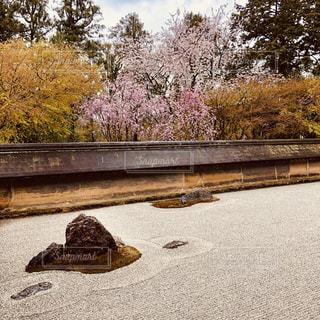 桜咲く枯山水の庭の写真・画像素材[2007191]