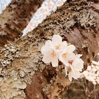 幹に咲くさくらの写真・画像素材[2028402]
