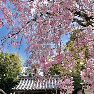 枝垂れ桜の写真・画像素材[2029848]
