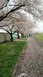 桜並木と花びらの道の写真・画像素材[1871287]