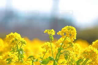 菜の花の写真・画像素材[1867796]