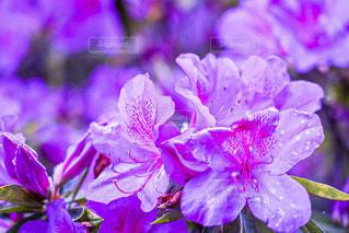 紫色の花のクローズアップの写真・画像素材[2132124]