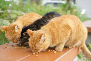 猫,動物,かわいい,オレンジ,ペット,子猫,人物,キティ,ネコ,ネコ科の動物