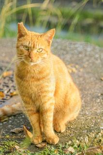 猫,動物,屋外,草,ペット,人物,座る,地面,ネコ,ネコ科の動物