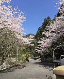 家の敷地に桜の写真・画像素材[1870921]