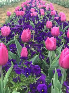 近くに紫の花の房のアップの写真・画像素材[1140560]