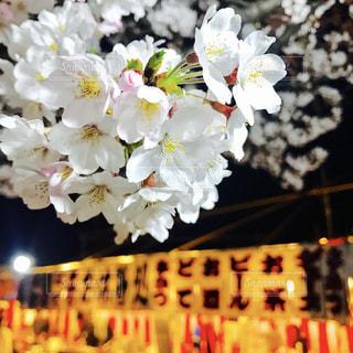 ふわふわの桜の写真・画像素材[2279485]