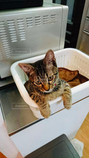 stay home catの写真・画像素材[3170365]