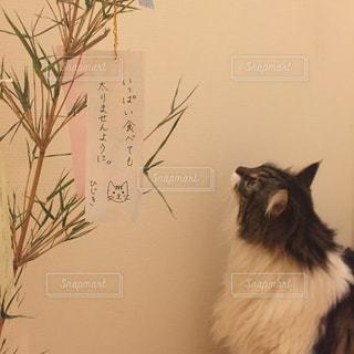 七夕のお願い事をする猫の写真・画像素材[1878065]