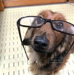犬,動物,茶色,めがね,眼鏡,ペット,いぬ,小型犬,カメラ目線,ダックスフンド,ミルクティー色,ベェージュ,ペット茶色,ペットミルクティー色,ペットベェージュ,ダックスフンド ミルクティー色,ダックスフンド ベェージュ,ダックスフンド 茶色,カメラ目線小型犬,カメラ目線ダックスフンド,めがね小型犬,めがねダックスフンド,動物茶色,動物ベェージュ,動物ミルクティー色