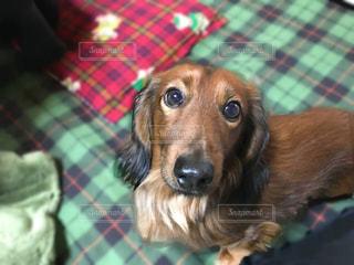 犬,動物,茶色,ペット,いぬ,小型犬,カメラ目線,ダックスフンド,ミルクティー色,ベェージュ,ダックスフンド ミルクティー色,ダックスフンド ベェージュ,ダックスフンド 茶色,ペット 茶色,ペット ミルクティー色,ペット ベェージュ,小型犬茶色,小型犬ベェージュ,小型犬ミルクティー色,カメラ目線小型犬,カメラ目線ダックスフンド,動物茶色,動物ベェージュ,動物ミルクティー色