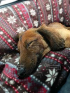 犬,動物,茶色,いぬ,寝てる,小型犬,ミルクティー色,ベェージュ,ペットミルクティー色,ダックスフンド ミルクティー色,ダックスフンド ベェージュ,ダックスフンド 茶色,ペット 茶色,ペット ベェージュ,小型犬 茶色,小型犬 ベェージュ,小型犬 ミルクティー色,動物茶色,動物ベェージュ,動物ミルクティー色