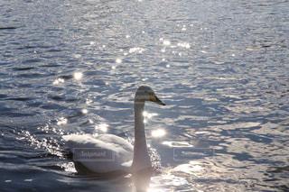水体で泳ぐ白鳥の写真・画像素材[1879215]
