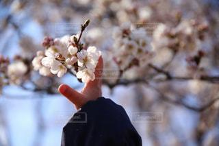 桜にタッチの写真・画像素材[1884922]