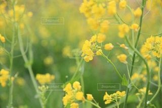 川沿いの菜の花の写真・画像素材[1885171]