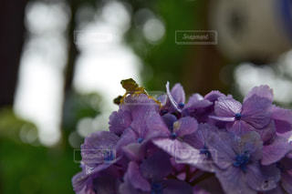 カエルと紫陽花の写真・画像素材[2117662]
